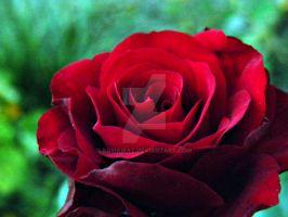 Rose.... by ramawat