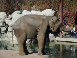 Billy the Asian Elephant at the Denver Zoo by kylgrv