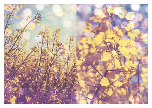 .canola. by xSacred-Dreamsx