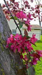Crab Apple Tree Spring Blooms! by TheRebelWithNoCause