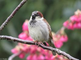 house sparrow by kiwipics