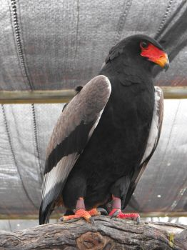 Bateleur Eagle by Lacie-Lady-Lynx