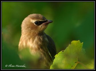 Waxwing 2 by Ptimac