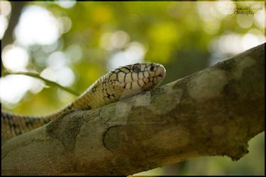 Goini X Kingsnake! by SMB-Photography