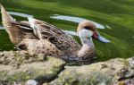 Marwell Duck by Lunapic