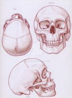 Skull Drawings by leighanief