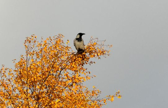 The Crow - Autumn Edition by Angband