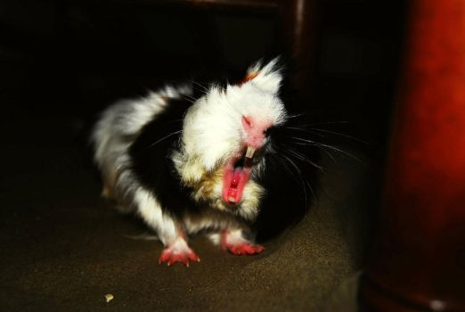A yawn of my guinea pig by haruko996