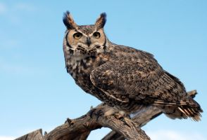 Great Horned in the Sonora Desert by SuicideBySafetyPin