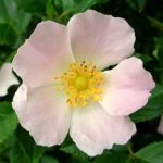 dog rose by Mittelfranke