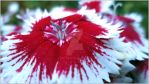 Single Dianthus by sintar
