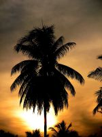Coconut tree silhouette by aashiks