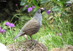 California quail 2 by kiwipics