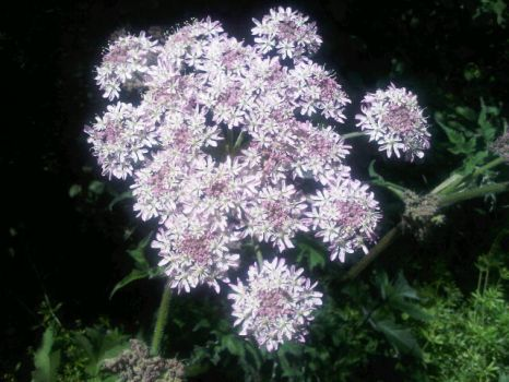 Hogweed by moonhare77