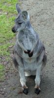 Wallaroo 006 by Elluka-brendmer
