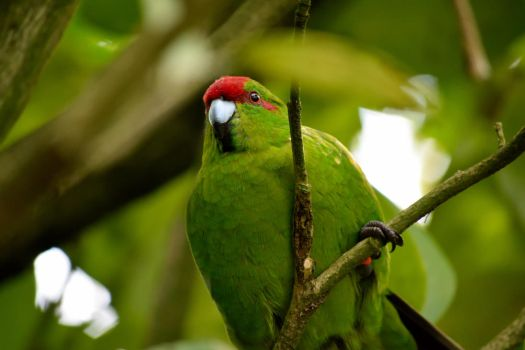 Red crowned parakeet by GogglesOfEscape