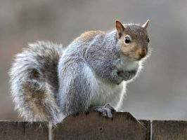Eastern gray squirrel 48 by EasternGraySquirrel