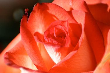Rose_1876 by WDCat