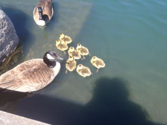Geese and Goslings by BLOODYALICE22