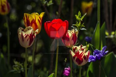 Pretty Tulip Flowers by photographybypixie