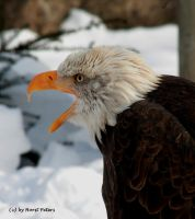 Weisskopfseeadler  /  Bald Eagle 7 by bluesgrass