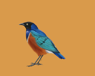 Birds of East Africa - Superb Starling by GabiStar