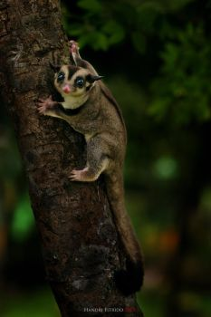Sugar glider by fitrido
