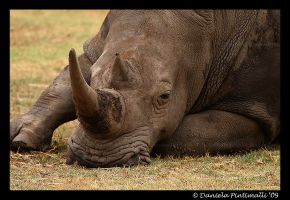 Depressed Rhino by TVD-Photography