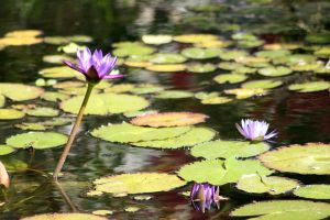 Water Lilies I by RubberDuckyTai