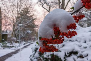 Snow Covered Berries by ChristophMaier
