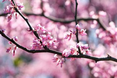 Pink Blossoms by torchdesigns