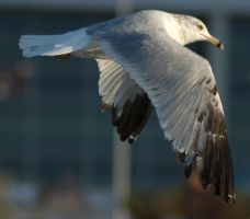 Ring Billed Gull by SalsolaStock