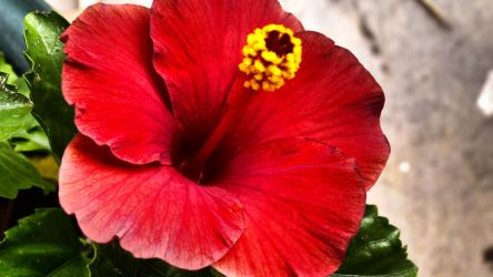 Red hibiscus by herbalcell