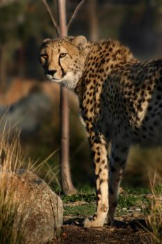 cheetah by scoot75