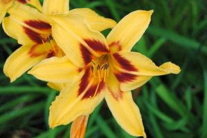 NEW Zoo: Yellow and Red Lily by charliemarlowe