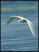 Little egret in flight by AzureHowlShilach