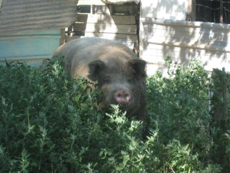 Family Pig by Cataluna-Keal