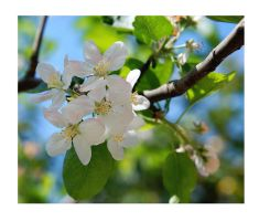 Apple blossom by Nataly1st
