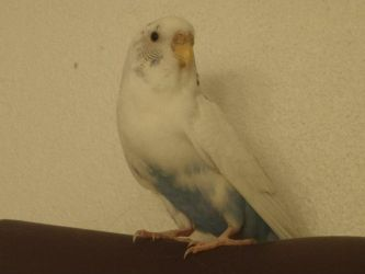 My Parakeet by LeaderZ