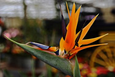 Bird of paradise by Gerfer
