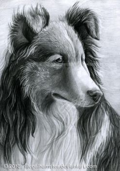 Sheltie by IllegalHamster