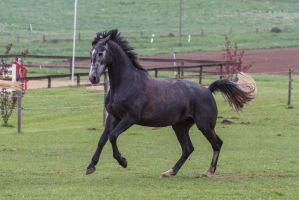 Grey Warmblood Cantering on Pasture by LuDa-Stock