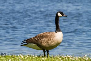 Canadian Goose by Takarti
