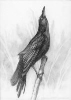 Grackle Drawing Study by SashaRJones
