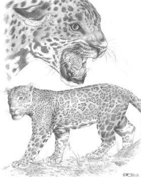 Jaguar drawing by fig