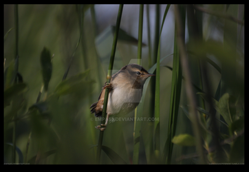 Baby Sedge Warbler by Empa85