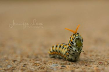 Swallowtail Caterpillar by lanephotography