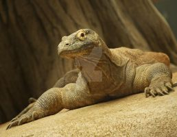 Komodo by WonderfulIndonesia