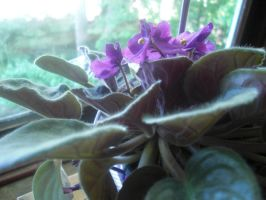 African Violets by thescarletaracnid