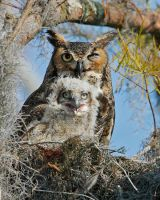 Great Horned Owl and Baby by datfly